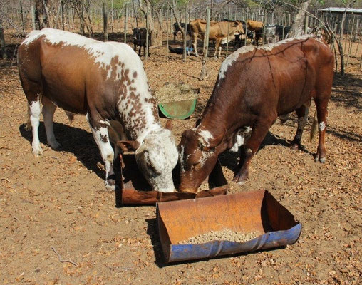 crossbred cattle breeds