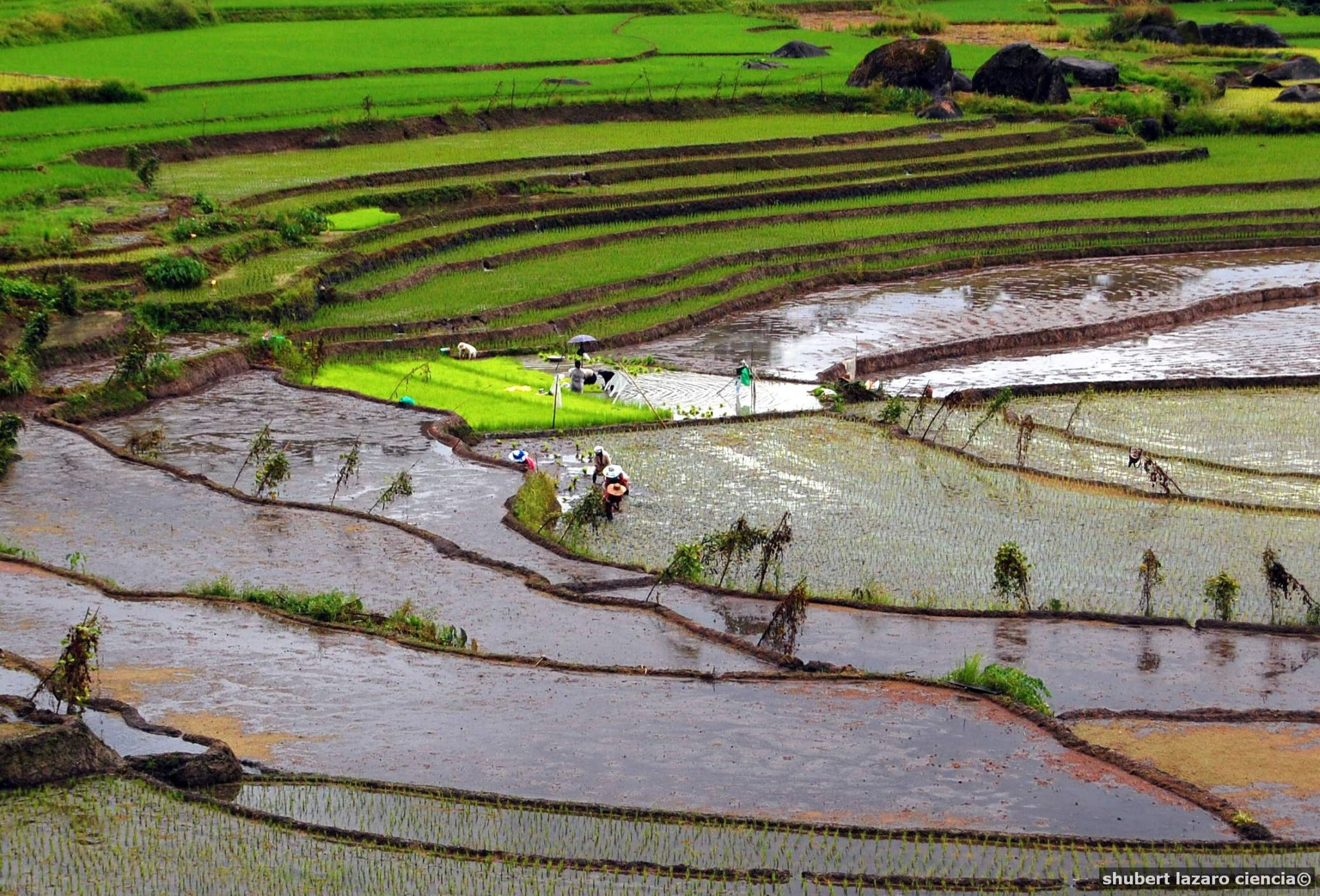 Rice production seen hitting nearly 20 MMT this year