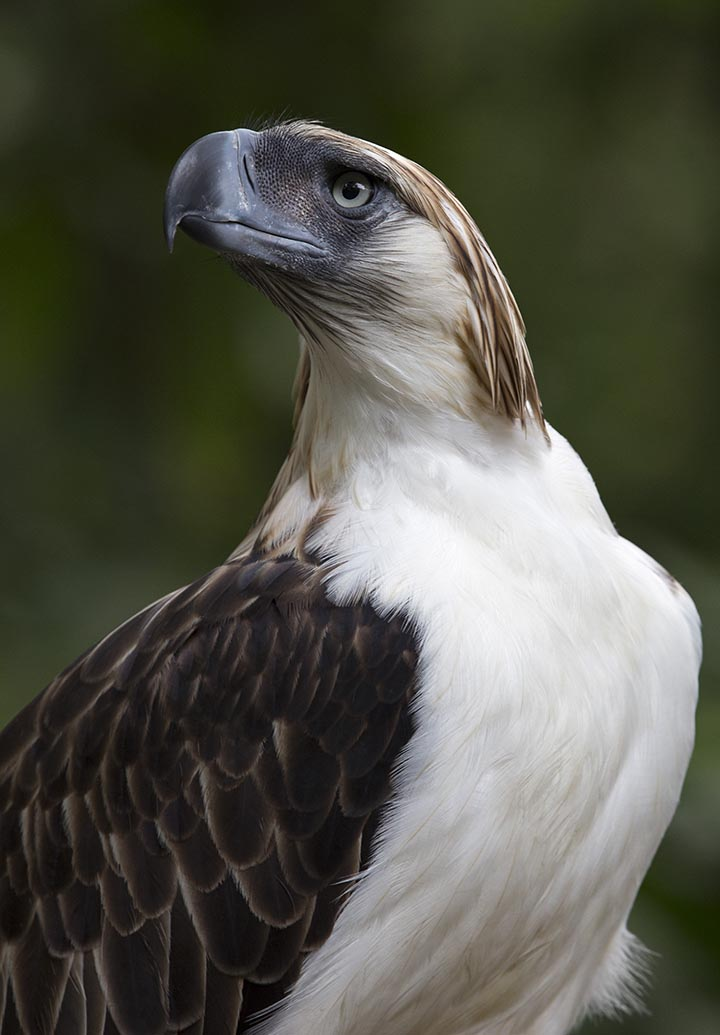 Revival of forests key to survival of Philippine Eagle ...
