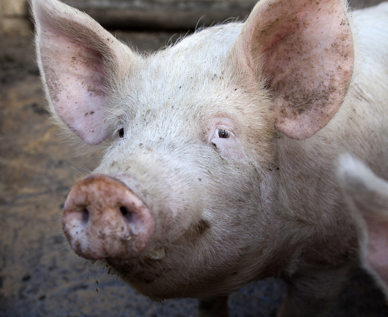 Swine Fever in Philippines: First Cases of H1N1 Flu Reported